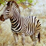 The Zebra Pics