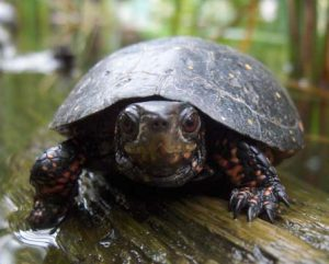 Spotted Turtle Picture
