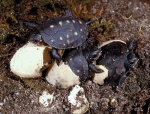 Spotted Turtle Eggs Photo