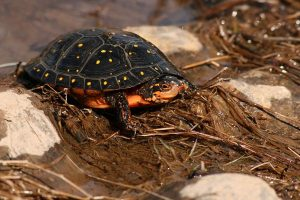 Images of Spotted Turtle
