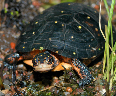 Photos of Spotted Turtle