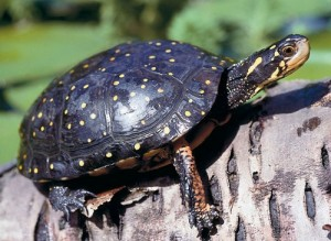 Pictures of Spotted Turtle