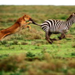 Tiger Chasing Zebra Picture
