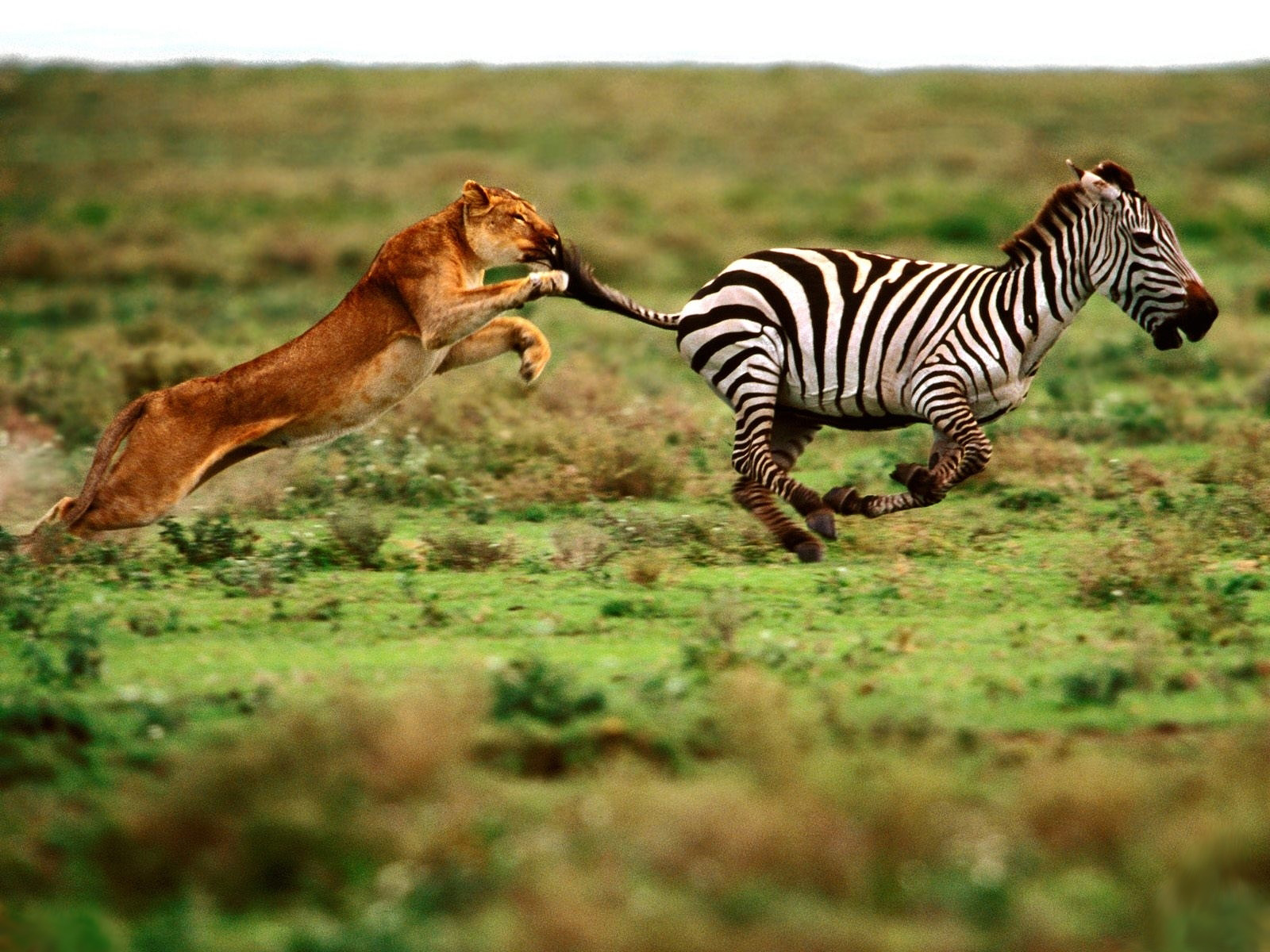 Tigers Eat Zebras Tiger Chasing Zebra Picture