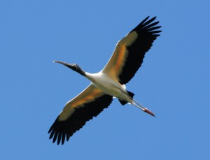 Wood Stork Flying Image