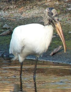 Images of Wood Stork
