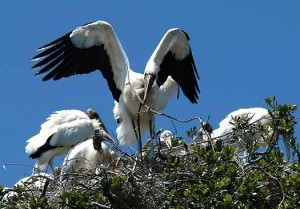 Wood Stork Nest Picture