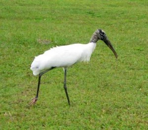 Photos of Wood Stork