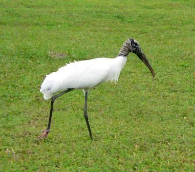 Photos of Wood Stork