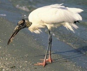Pictures of Wood Stork