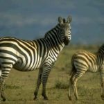 Zebra Burchells Picture