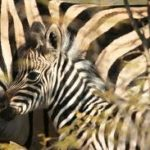 Pictures of Zebra Calf