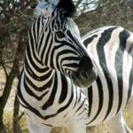 Zebra Faced Image