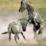 Zebra Fighting Image
