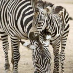 Photos of Zebra