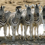 Zebras Group Photo