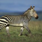 Images of Zebras