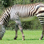 Photos of Zebras