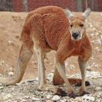 kangaroo Desktop Wallpaper Image