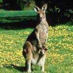 Images of kangaroo
