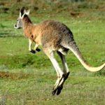 kangaroo Jumping Photo