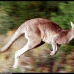 Photos of kangaroo