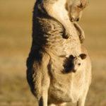 Image of kangaroos