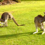 Photos of kangaroos