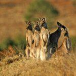 Pictures of kangaroos