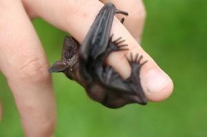 Baby Big Brown Bat Image