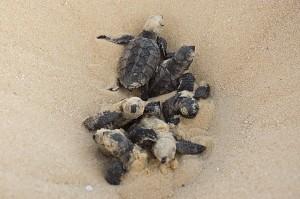 Baby Hawksbill Sea Turtle Image