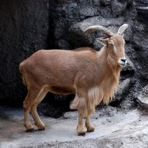 Barbary sheep Picture