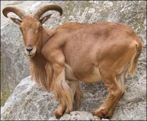 Images of Barbary sheep