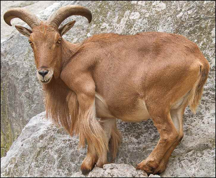 Images of Barbary sheep