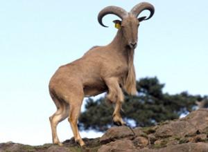 Photos of Barbary sheep