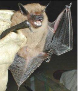 Big Brown Bat Picture