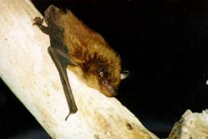 Images of Big Brown Bat