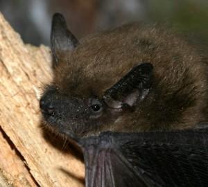 Pictures of Big Brown Bat