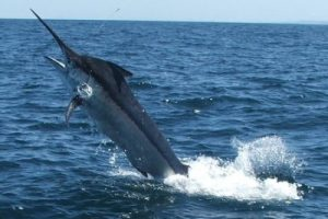 Photos of Black Marlin