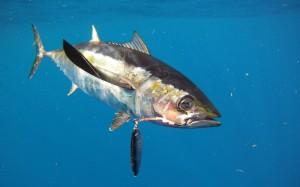 Blackfin Tuna Picture