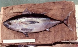 Images of Blackfin Tuna