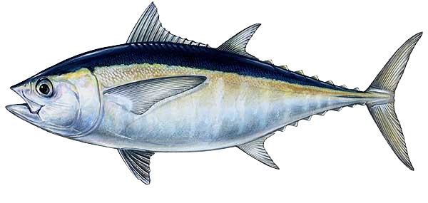 Pictures of Blackfin Tuna
