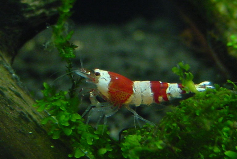 Picture 2 - Crystal Red Shrimp Picture