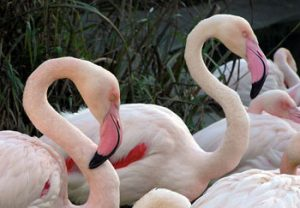 Greater Flamingo Picture