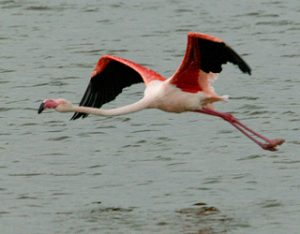 Greater Flamingo Flying Image