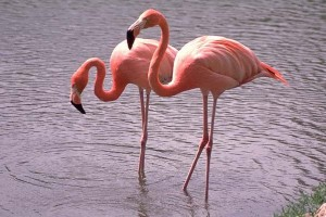 Images of Greater Flamingo