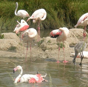 Photos of Greater Flamingo