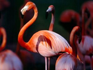 Pictures of Greater Flamingo