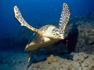 Hawksbill Sea Turtle Picture
