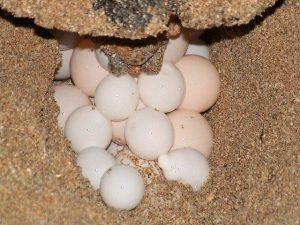 Hawksbill Sea Turtle Eggs Image